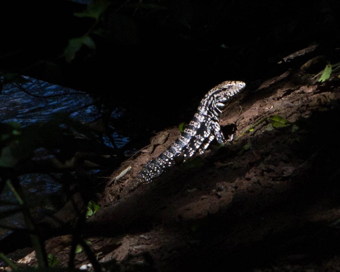 A monitor lizard finds a ray of sunshine in Iguazu Falls Argentina