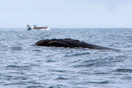 The endangered Northern Right whale surfaces in Golfo Nuevo, a great place to visit from Puerto Madryn with kids.