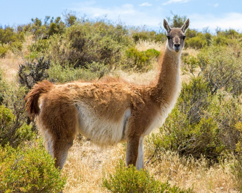 Guanaco in Punta Tombo penguin rookery.