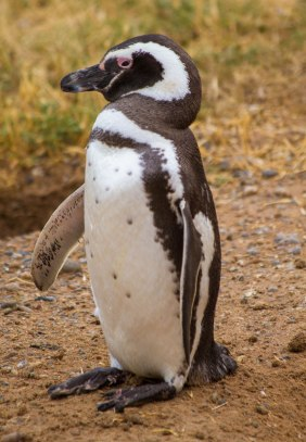 Solitary penguin walking around Peninsula Valdes.