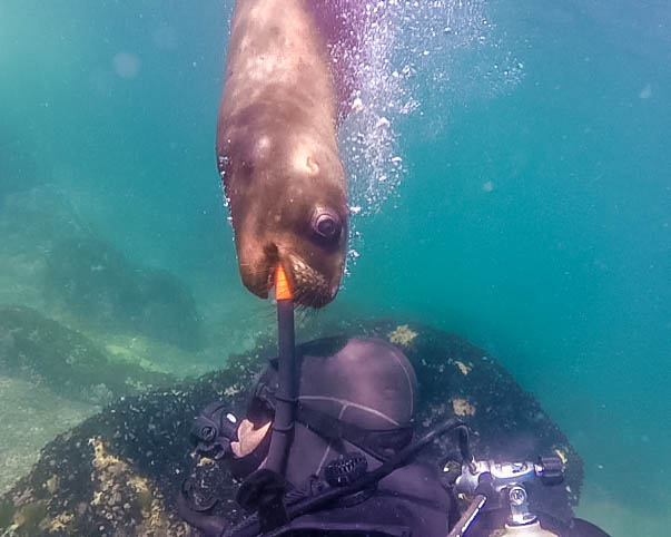 A sea lion in Punta Loma Argentina nibbles on a divers snorkel