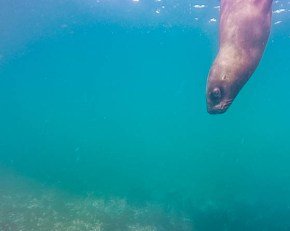 A sea lion in Punta Tombo Argentina pokes below the waves