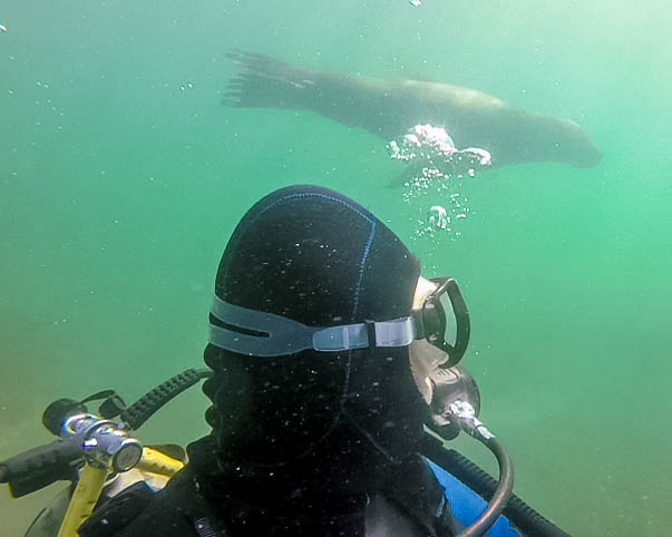 A SCUBA diver looks over his shoulder towards a sea lion