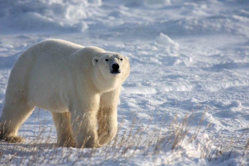 A polar bear roams the snow near Churchill Manitoba, one of the most amazing places in Canada