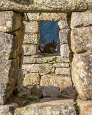 Spotting viscachas (vizcachas) is a favorite activity when visiting Machu Picchu with kids.