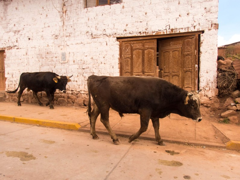 Bulls walk down narrow cobblestone streets of Maras Peru. Just one of the things you might experience while Visiting Maras and Moray with kids