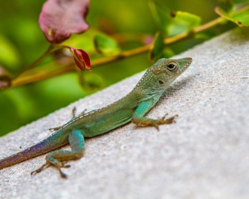 Lizard sunning on a rock in Bermuda with kids
