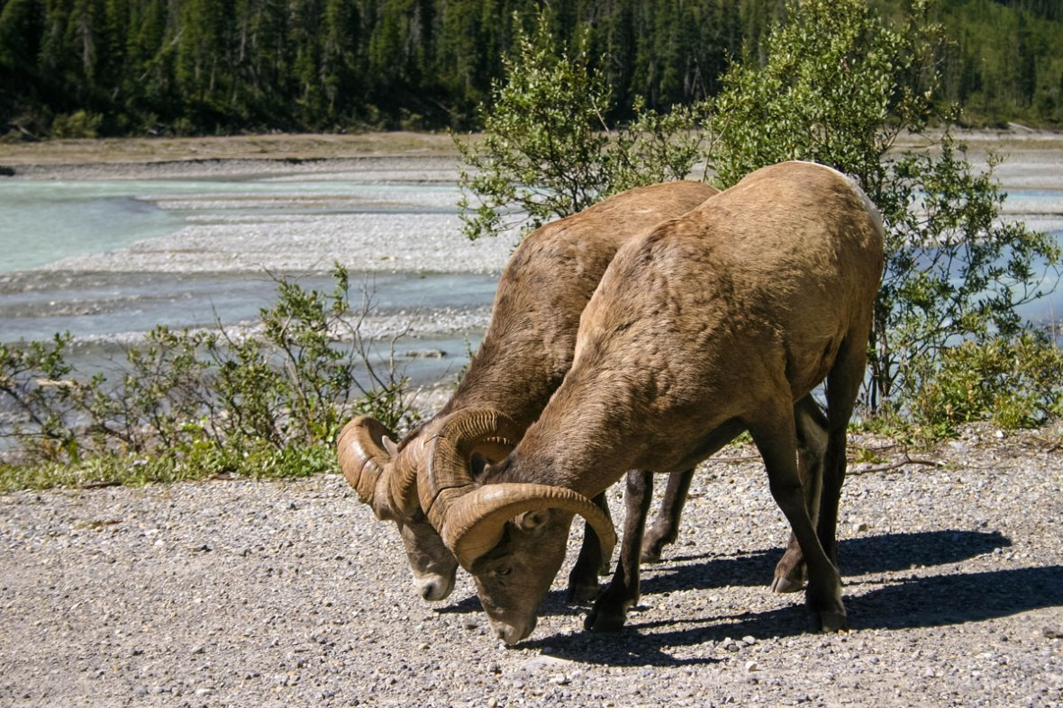 Mountain Goats graze at the side of the road near Jasper Alberta one of the most amazing places in Canada