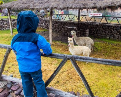 A young boy in a rain jacket stands on a fence and looks at two baby llamas at the Casa Andina Private Collection Sacred Valley Peru