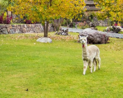 Baby llama in theCasa Andina Private Collection Sacred Valley Peru