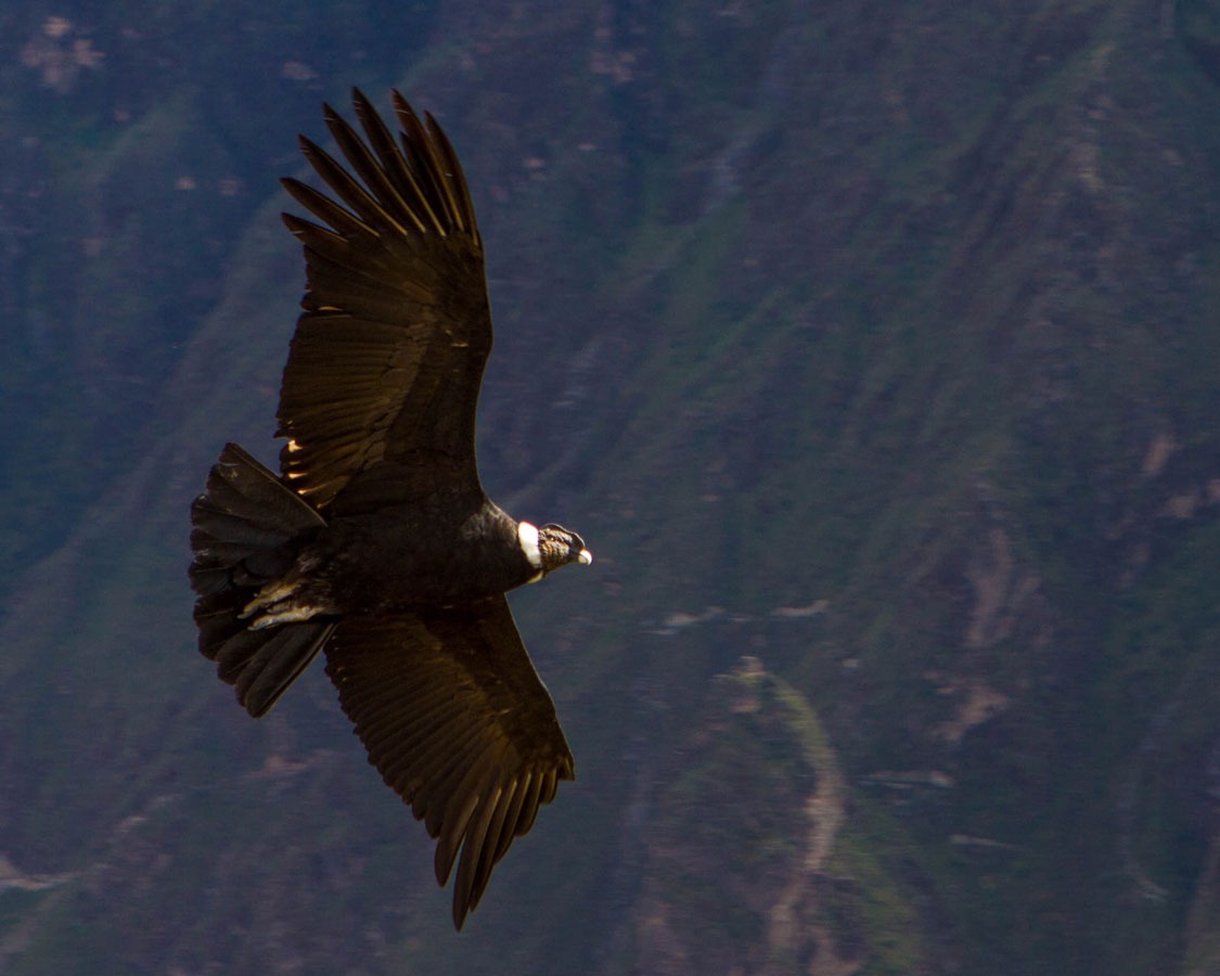 An Andean Condor soars over Colca Canyon in Peru with kids on a 14 day Peru itinerary. The Condors in Colca Canyon are one of the coolest things to see in Peru if you can make it out there