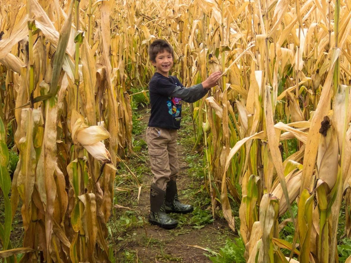 Running through a corn maze in Whitby Ontario