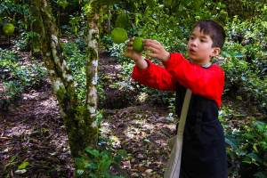 young traveler C Wagar harvesting limes in Machu Picchu Peru