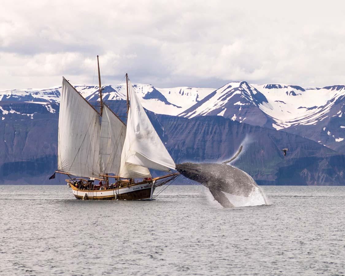 Iceland With Kids Whale Watching in Husavik