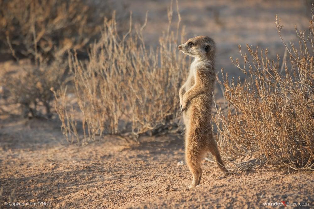 A meerkat stands guard in Kgalagadi Transfrontier Park, Kalahari Desert, South Africa