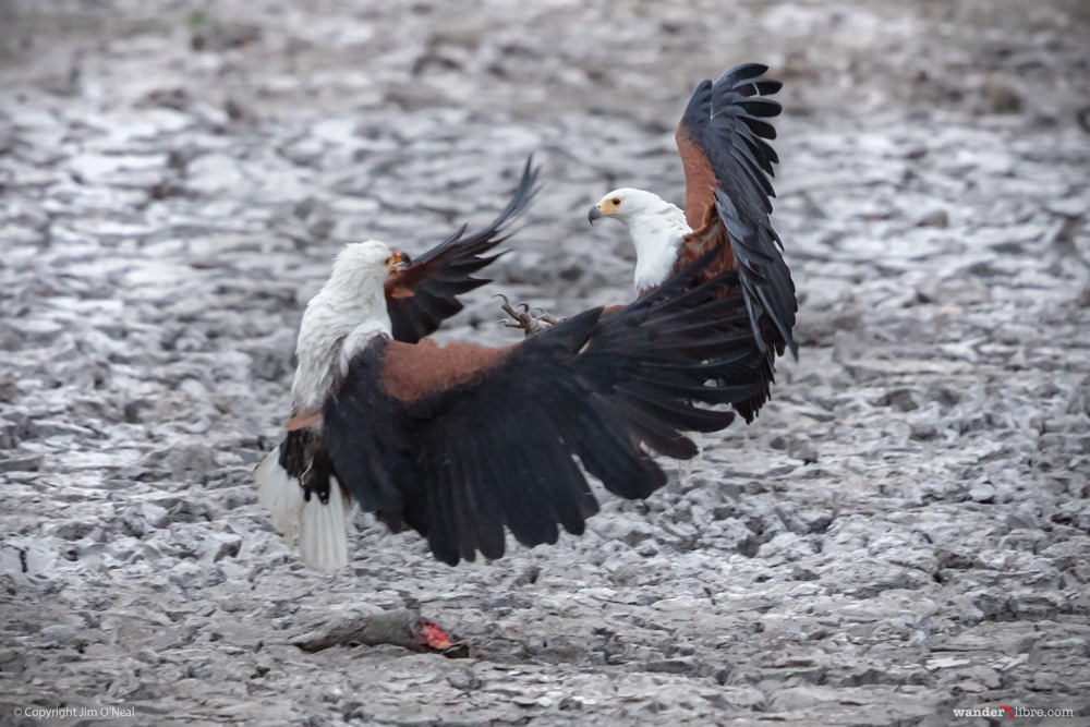 Two African fish eagles fighting over fish in a dried up water hole in Moremi Game Reserve, Botswana