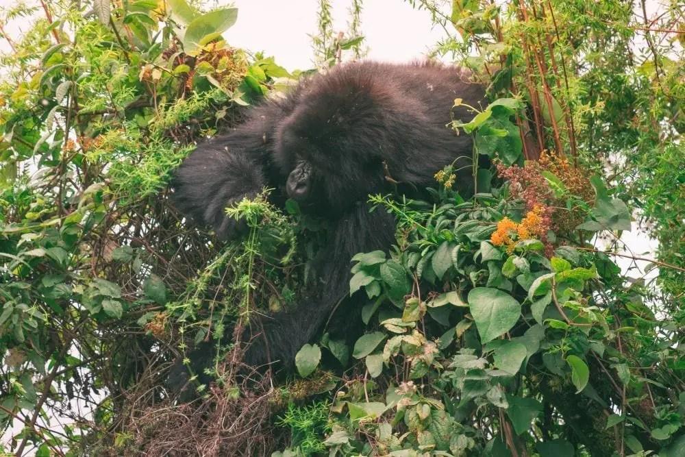 travel to rwanda gorilla trekking