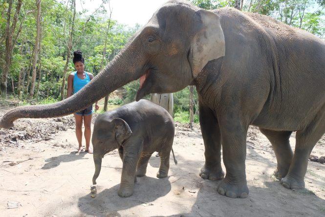 elephants at elephant jungle sanctuary phuket