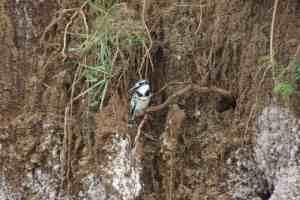 Birds nesting in the Kazinga Channel Embankment