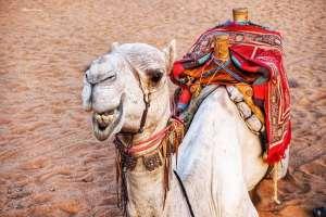 Camel at the Pyramids of Meroe in Sudan