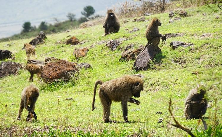 Vervet monkeys playing in Ngorongoro Crater, Tanzania
