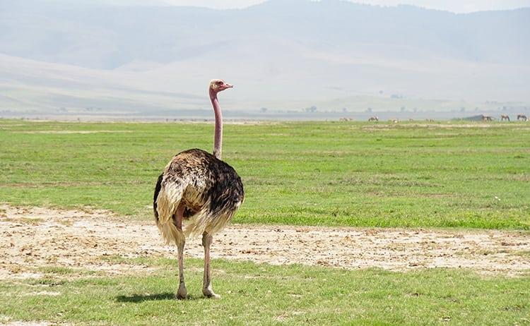 Female ostrich on safari at Ngorongoro Crater, Tanzania