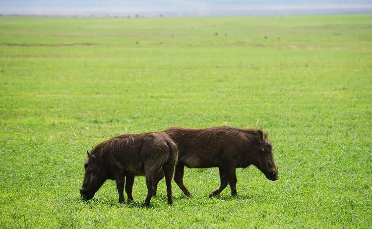 Male and female warthog at Ngorongoro Crater, Tanzania