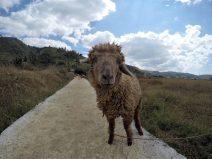 Curious sheep peeking into my Gopro