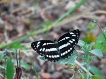 butterfly of satpura