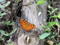 butterfly of satpura