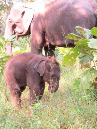 Cute baby elephant at Satpura