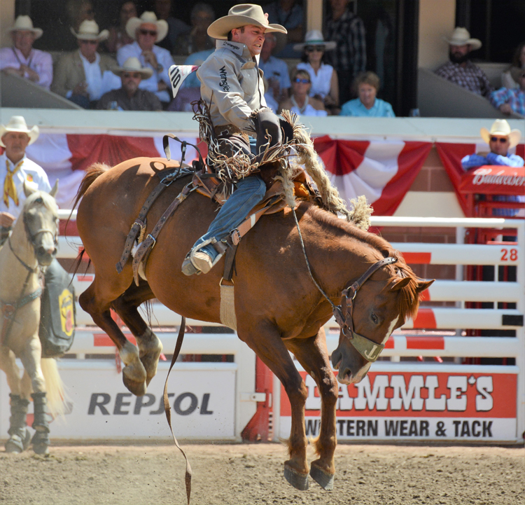 Image of a cowboy saddle bronc riding at the Calgary Stampede rodeo