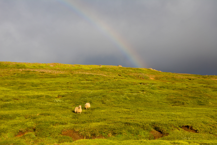 Image of sheep grazing in Iceland