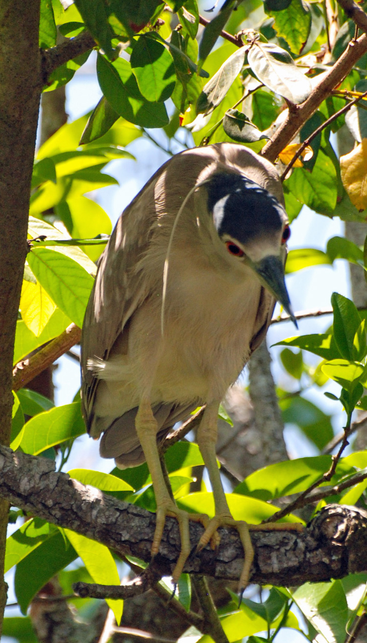 An image of a black-crowned night heron.
