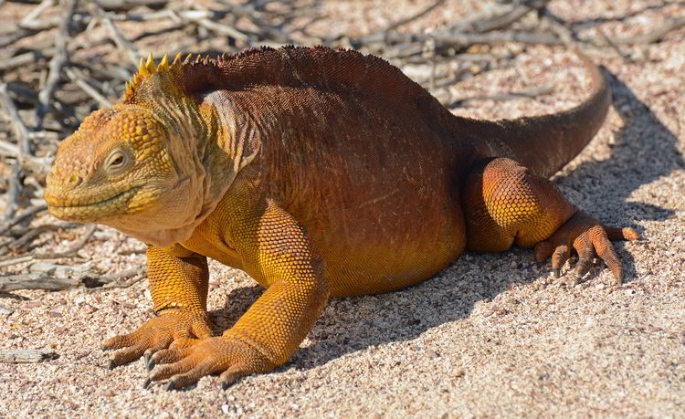 An image of a Galapagos Land Iguana in the Galapagos Islands