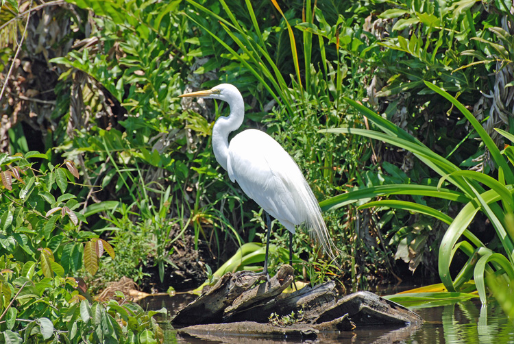An image of a great egret