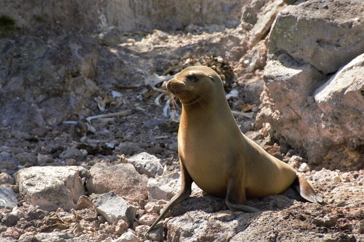 An image of a young Galapagos sea lion in the Galapagos Islands