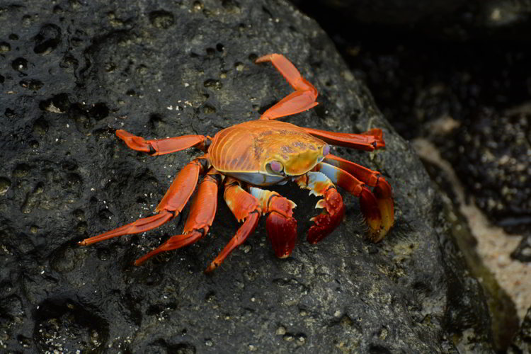 An image of a Sally Lightfoot Crab in the Galapagos Islands