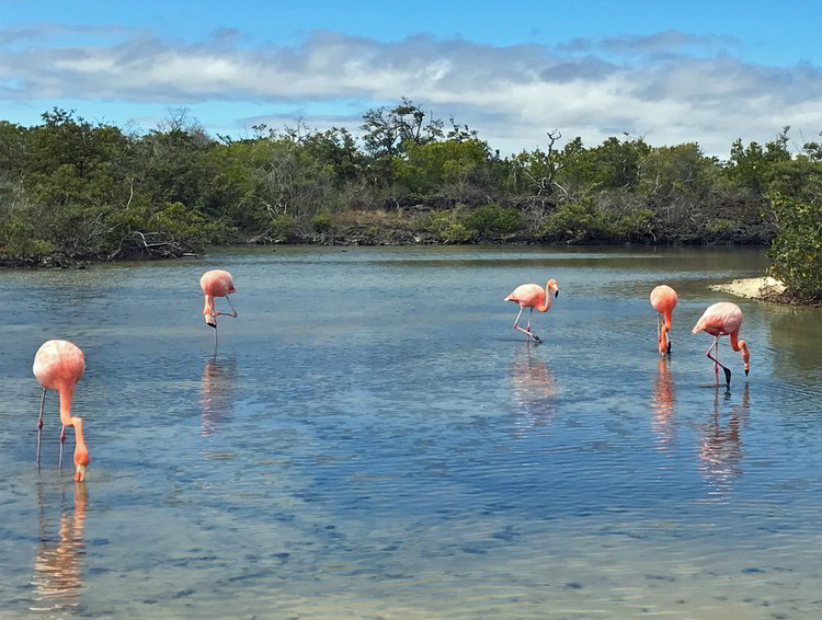 An image of five Galapagos Flamingos in the Galapagos Islands