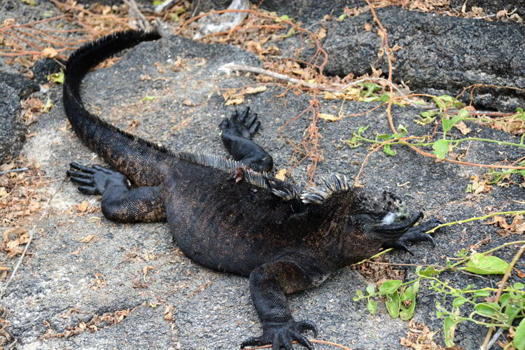 An image of a marine iguana with salt crystals on its face in the Galapagos Islands