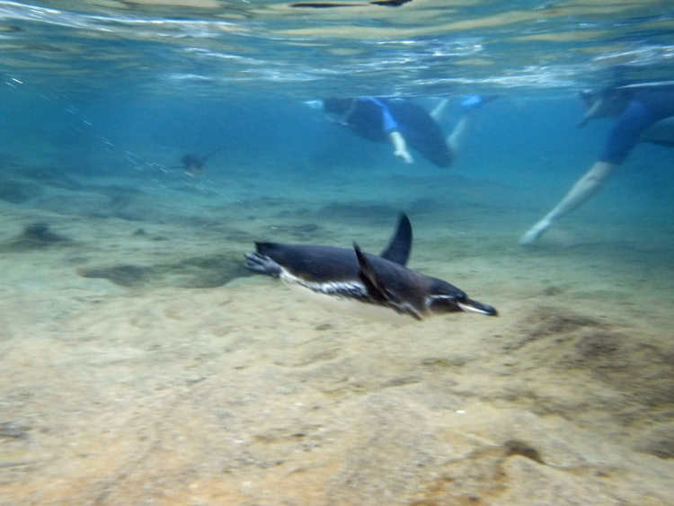 An image of a Galapagos Penguin swimming with snorkelers in the Galapagos Islands