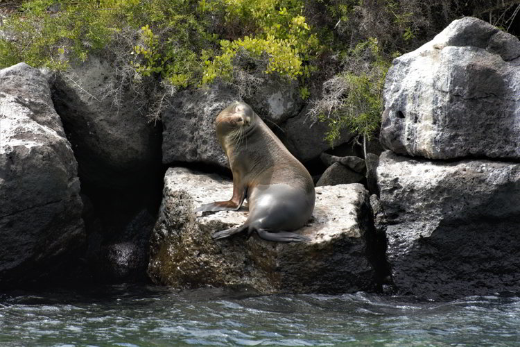 An image of a Galapagos sea lion sitting on a large rock in the Galapagos Islands