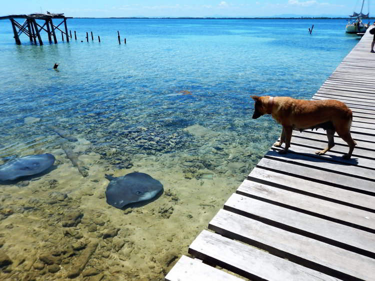 An image of a dog looking at a stingray on Tobacco Caye in Belize
