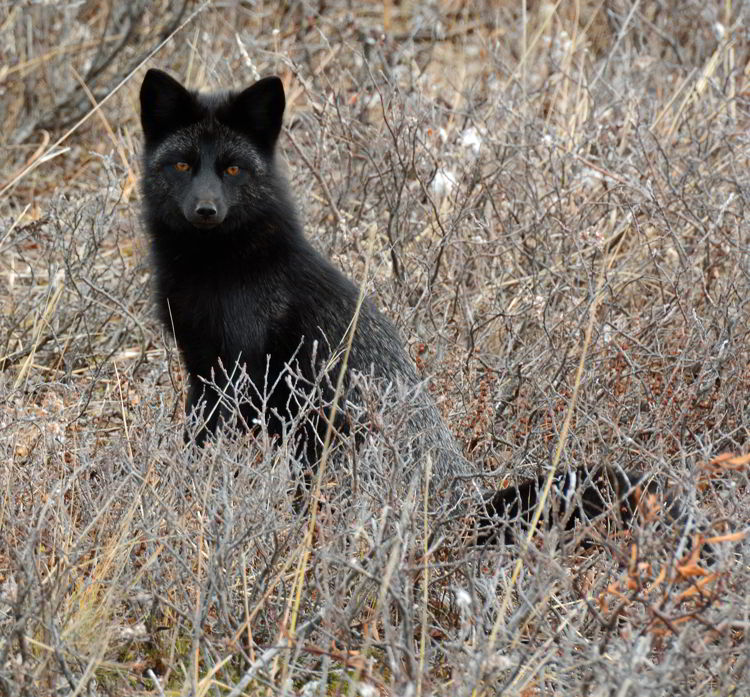 An image of a black fox, which is a melanistic variety of red fox, near Churchill, Manitoba