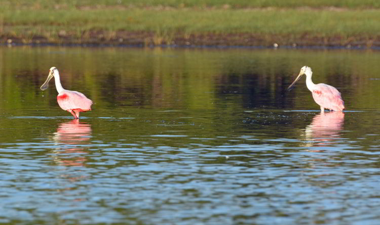 An image of roseate spoonbills in the Crooked Tree Wildlife Sanctuary in Belize