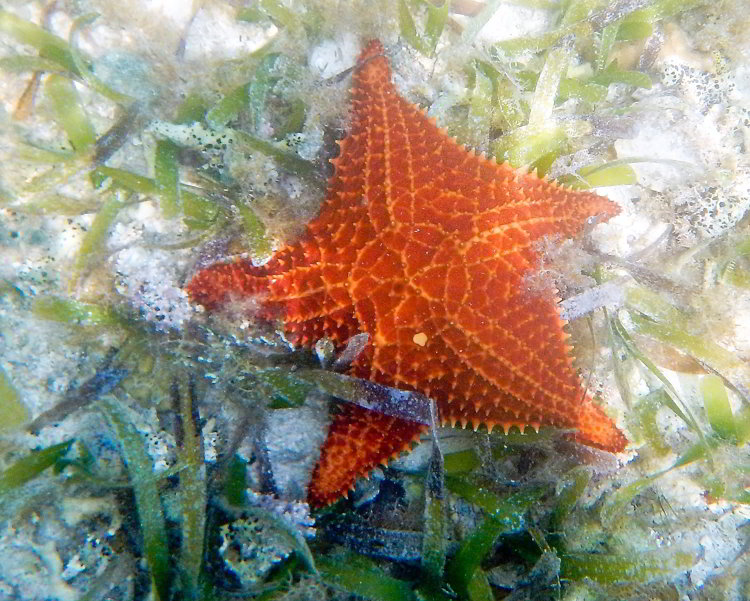 Image of an orange sea star seen while snorkeling in Belize in South Water Caye Marine Reserve in Belize