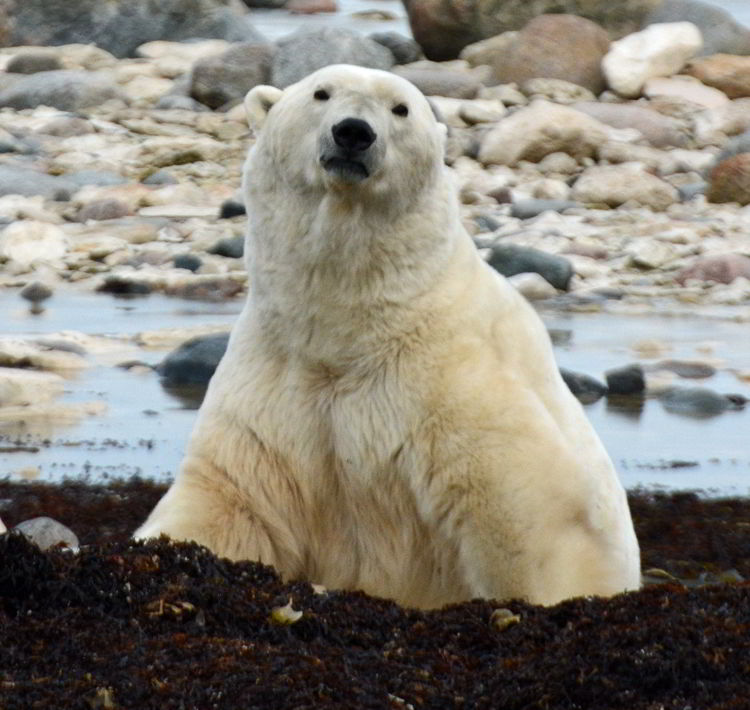 An image of a polar bear near the edge of the Hudson Bay outside Churchill, Manitoba