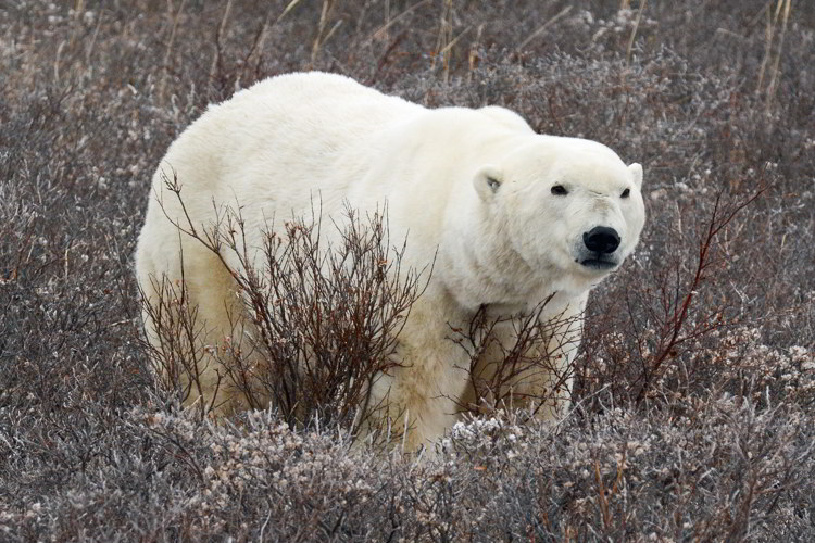 An image of a polar bear standing in some brush near Churchill, Manitoba