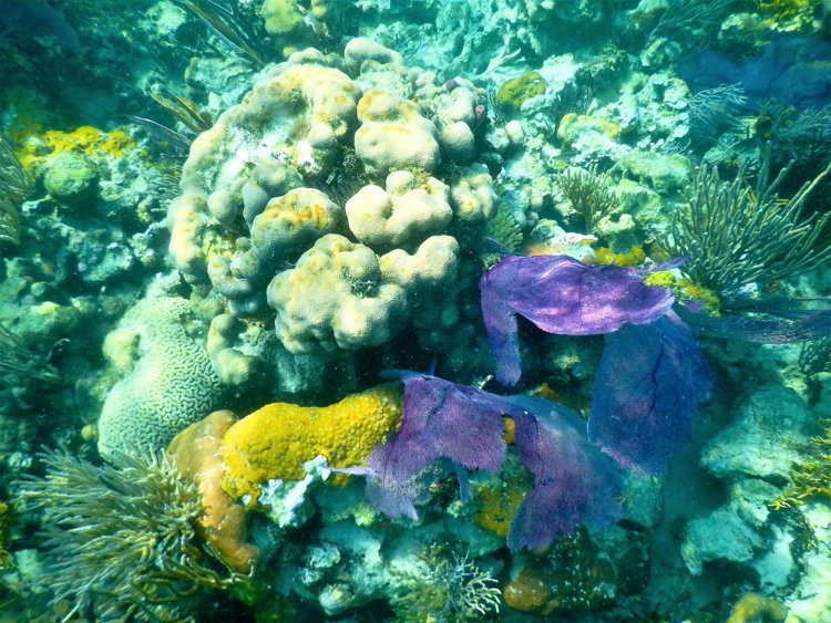 Image of coral with various colors and shapes in the South Water Caye Marine Reserve in Belize