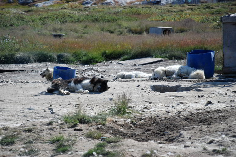 An image of four sled dogs sleeping in the summer sun near Ilulissat Greenland